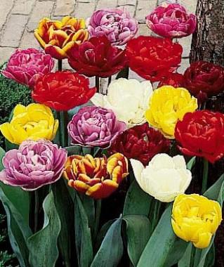 Тюльпан Подвійний Мікс смотреть