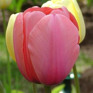 Тюльпан Pink Impression смотреть