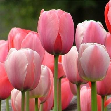 Тюльпан Pink Impression купить онлайн
