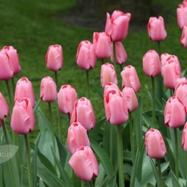 Тюльпан Pink Impression фото цена