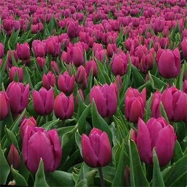 Тюльпан Purple Prince почтой