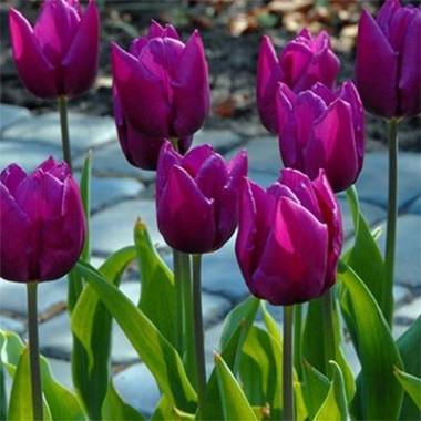 Тюльпан Purple Prince смотреть