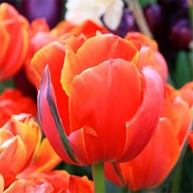 Тюльпан Queensday фото
