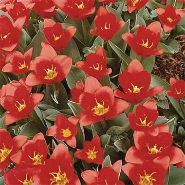 Тюльпан Red Riding Hood фото цена