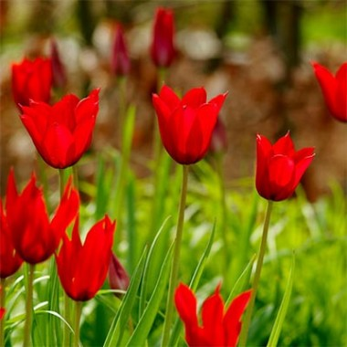 Тюльпан Red Shine фото цена