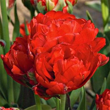 Тюльпан Redwood почтой