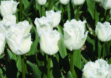 Оторочені тюльпани купить