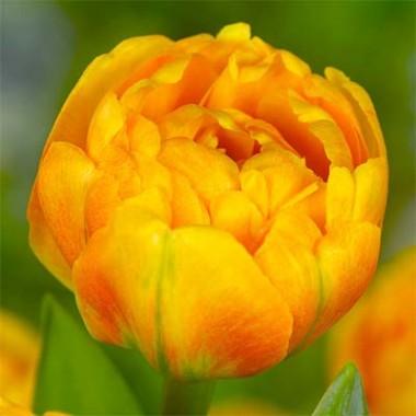 Тюльпан Sunlover фото