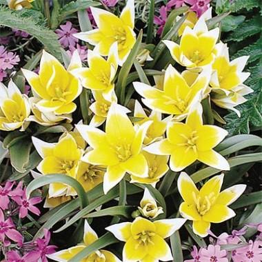 Тюльпан Tarda (Dasystemon) фото цена