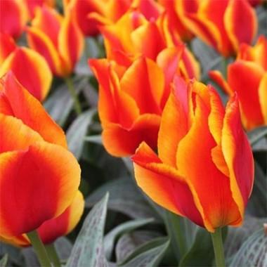 Тюльпан United States описание