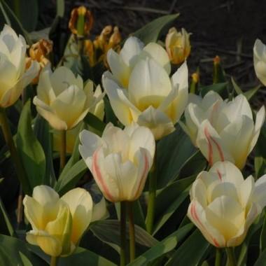 Тюльпани Грейга купить