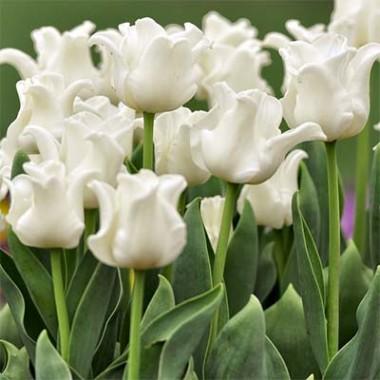 Тюльпан White Liberstar купить онлайн