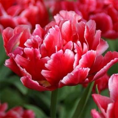 Тюльпан Willemsoord  описание