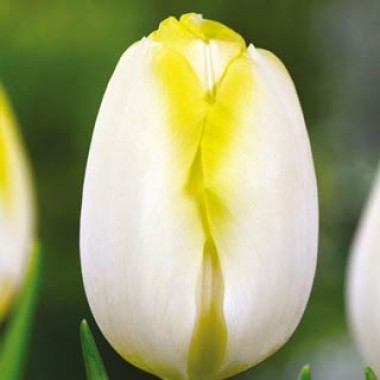 Тюльпан Bolroyal Silver описание