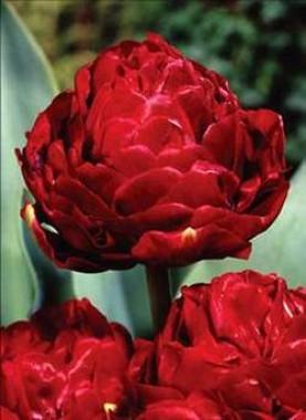 Тюльпан Emblazon фото