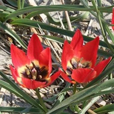 Тюльпан Hageri купить онлайн