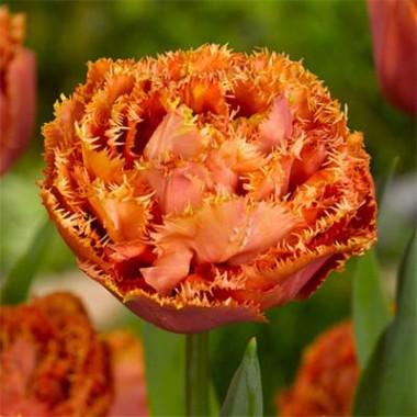 Тюльпан Sensual Touch в киеве