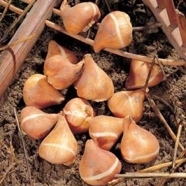 Тюльпан Ботанічний Мікс фото цена