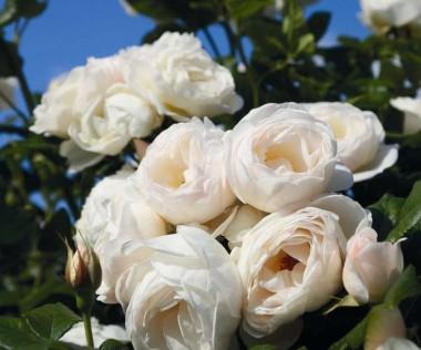 Троянда плетиста Uetersener Klosterrose описание