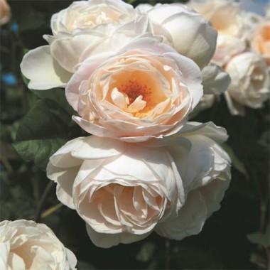 Троянда плетиста Uetersener Klosterrose в киеве