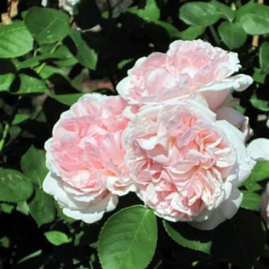 Троянда St. Swithun фото