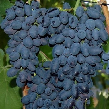 Виноград Молдова смотреть