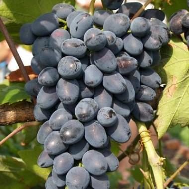 Саджанці винограду купить