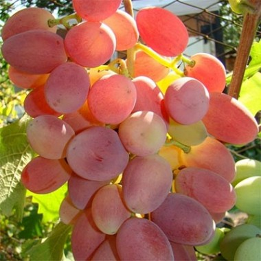 Виноград Преображеніє описание
