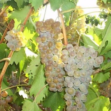 Виноград  Ркацетелі в киеве