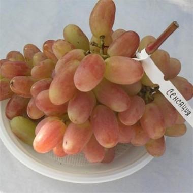 Виноград Сенсація фото цена