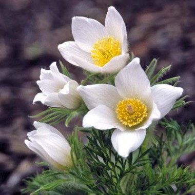 Сон-трава White Swan описание