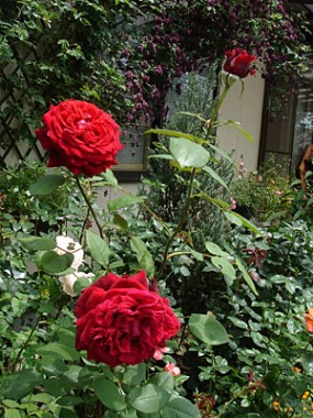 Троянда Winschoten в киеве