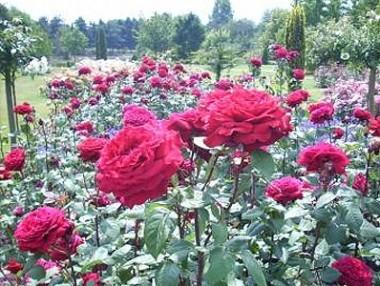 Троянда Winschoten купить онлайн