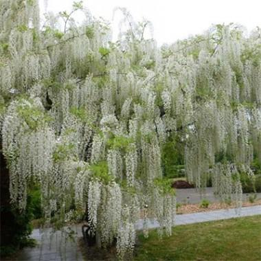 Вістерія (гліцинія) Longissima Alba купить онлайн