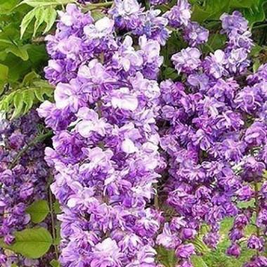 Вістерія (гліцинія) Violacea Plena фото цена