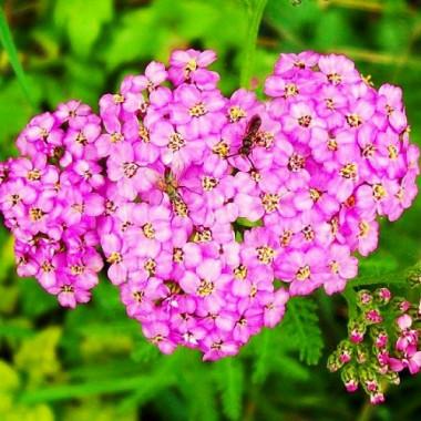 Деревій Lilac Beauty фото