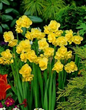 Нарцис Yellow Cheerfulness фото
