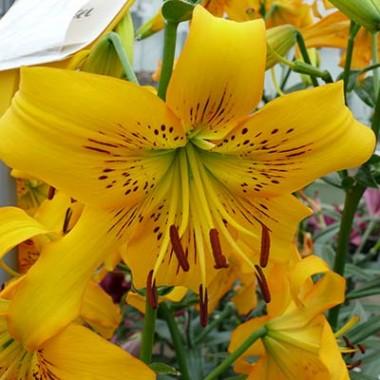 Лілія Yellow Bruse фото