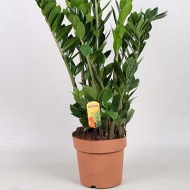 Заміокулькас Zamilifolia в киеве