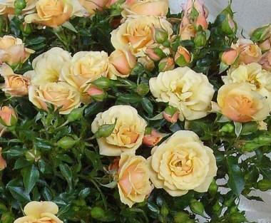 Троянда плетиста Zorba смотреть