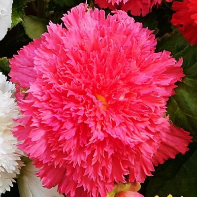 Бегонія Fimbriata Рожева фото