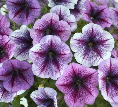 Петунія Fortunia Purple Vein фото