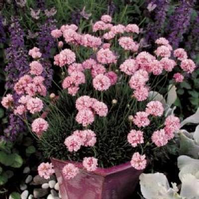 Армерія Pink фото
