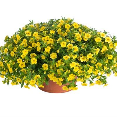 Калібрахоа Lindura Yellow фото