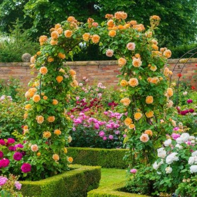 Троянда Crown Princess Margareta (плетиста) фото