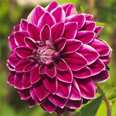 Жоржина Purple Pearl фото
