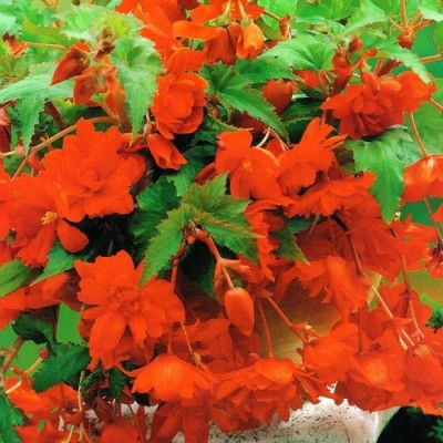 Бегонія Pendula Cascade Orange фото