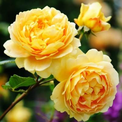 Троянда Golden Celebration (плетиста) фото