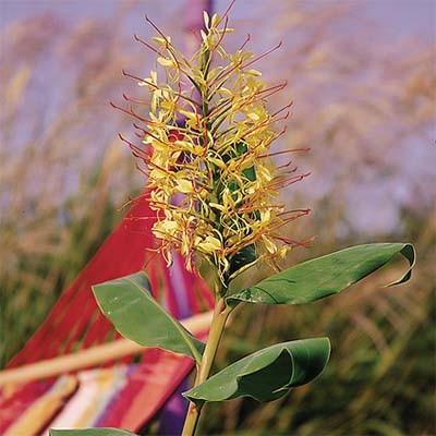 Гедіхіум Gardnerianum фото