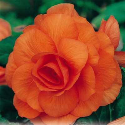 Бегонія Multiflora Maxima помаранчева фото